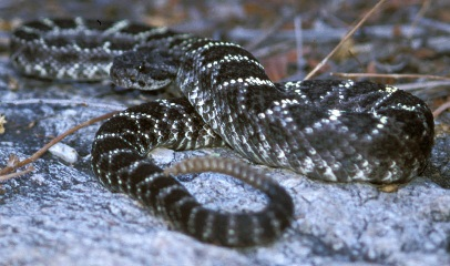 Black and white snake coiled up on a rock.