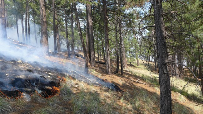 Fire slowly backs downslope n the fire-adapted Ponderosa Pine forest