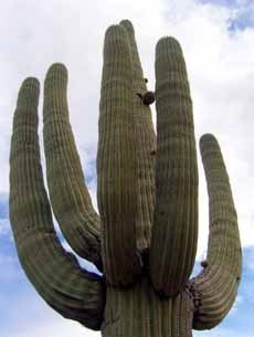 Mature saguaro on Mica View Trail