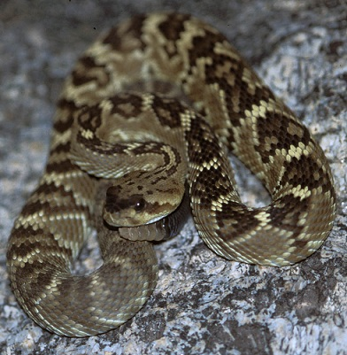 Tan snake with darker brown patter coiled up on a rock.