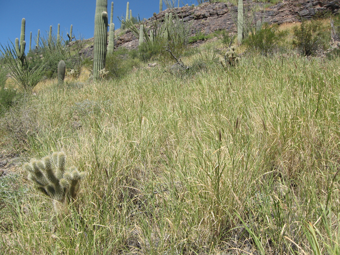 Buffelgrass patch in the Sonoran Desert.