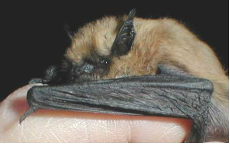A bat with a tan body and dark wings is held in a hand.