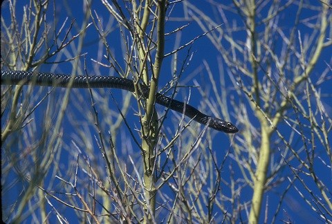 A thin, black snake moving through tree branches with a blue sky background.