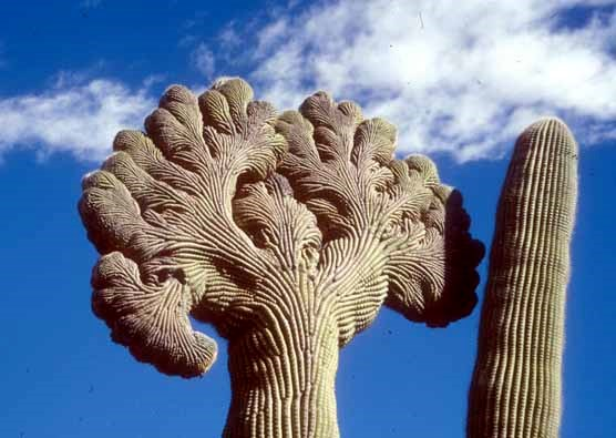 One of the park's beautiful crested saguaros