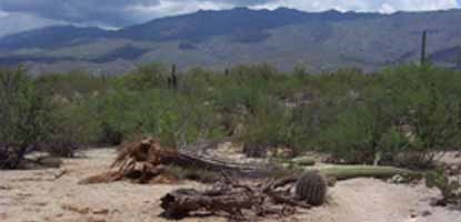 The saturated desert floor can become very soft after a heavy rainstorm, sometimes making it difficult for a heavy saguaro to remain standing in the wind.