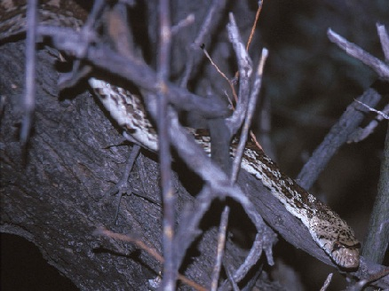 Brown and white snake intertwined with branches.