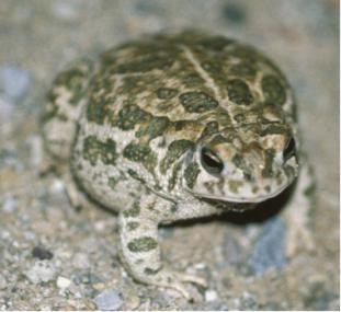 Mottled green toad on a light-colored sandy background.