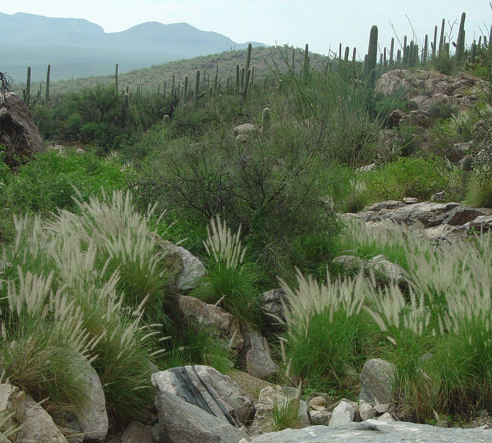 Fountain grass saguaro national park u s national park for Tall fountain grass