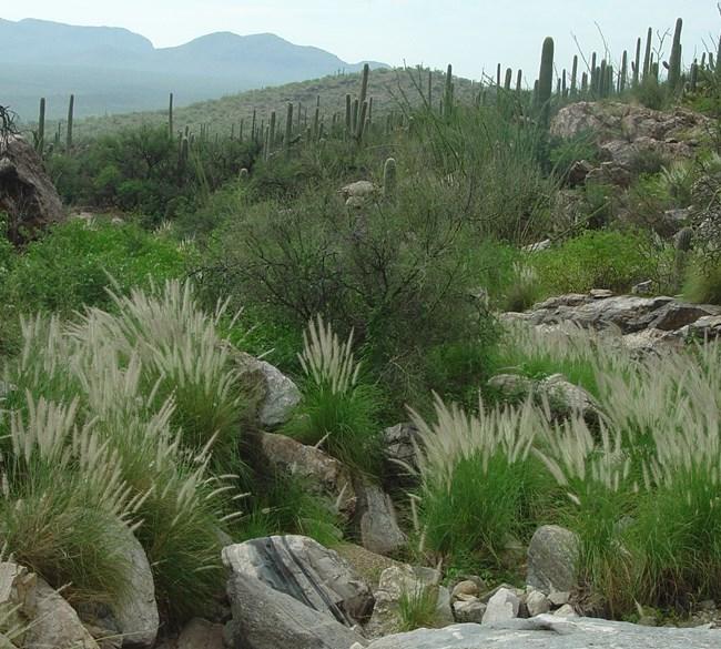 Fountain Grass   Saguaro National Park (U.S. National Park Service)