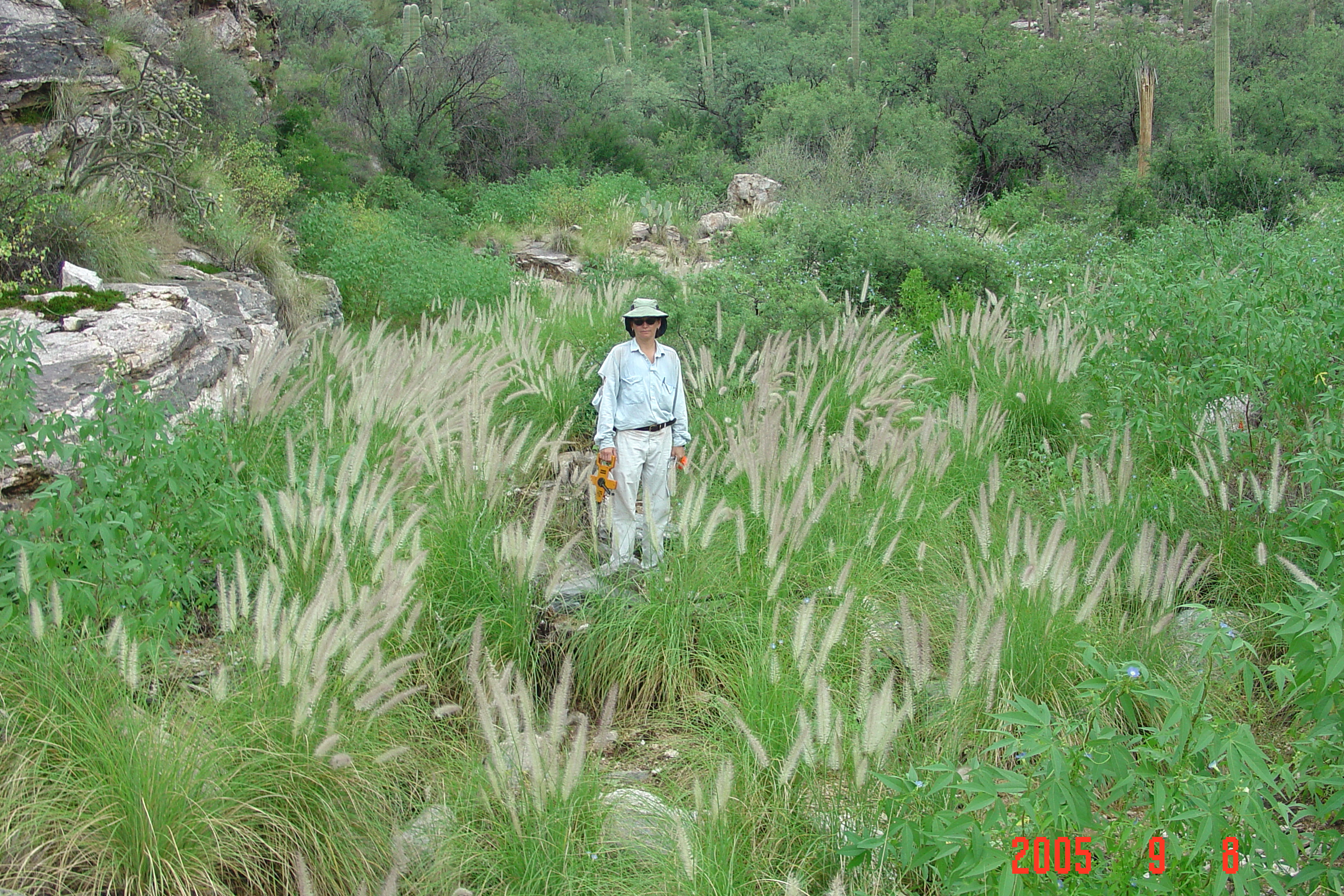 Fountain grass in a riparian area