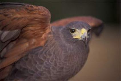 Hawk with red, raised wings, gray body, and yellow beak looks at the camera.