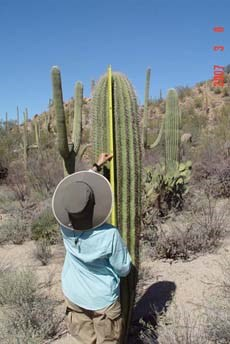A person holds a yellow measuring tape up to a saguaro.