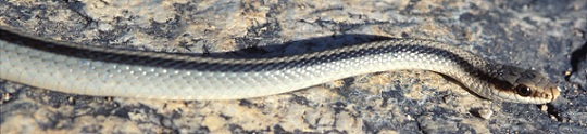 Light colored snake on a rock background.