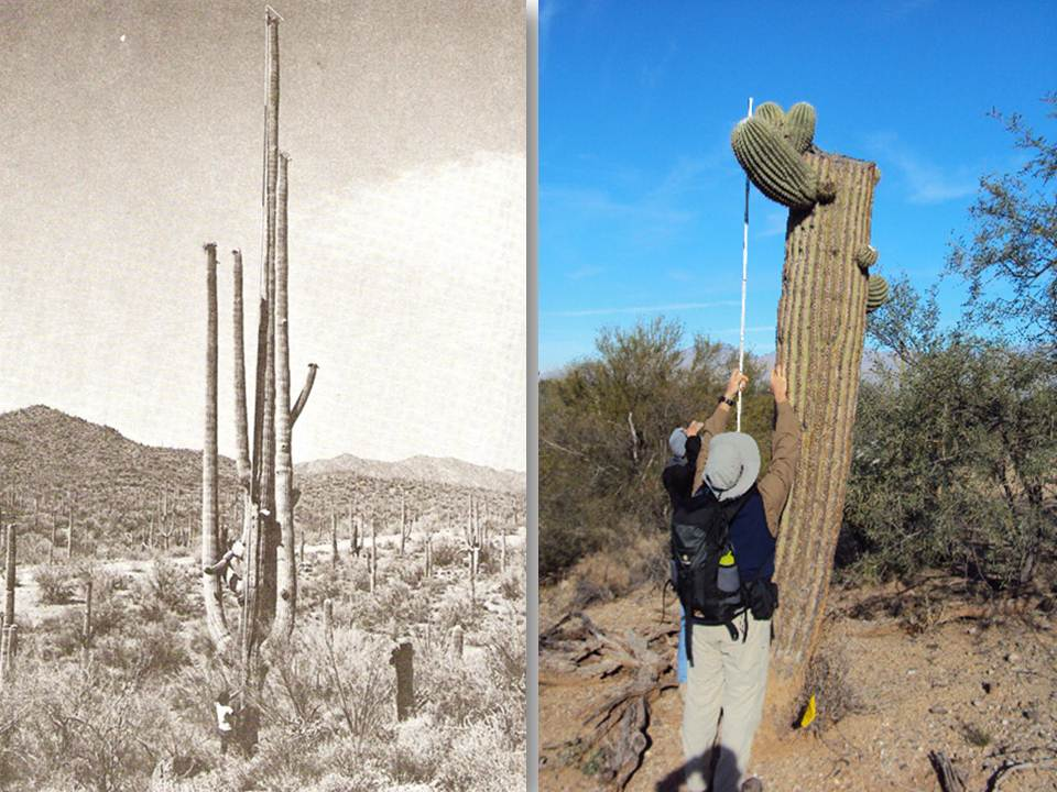 Left:  black and white photo of a person holding a long pole at the base of a tall saguaro with many arms. Right:  color photo of two people holding a tall pole at the base of a saguaro.