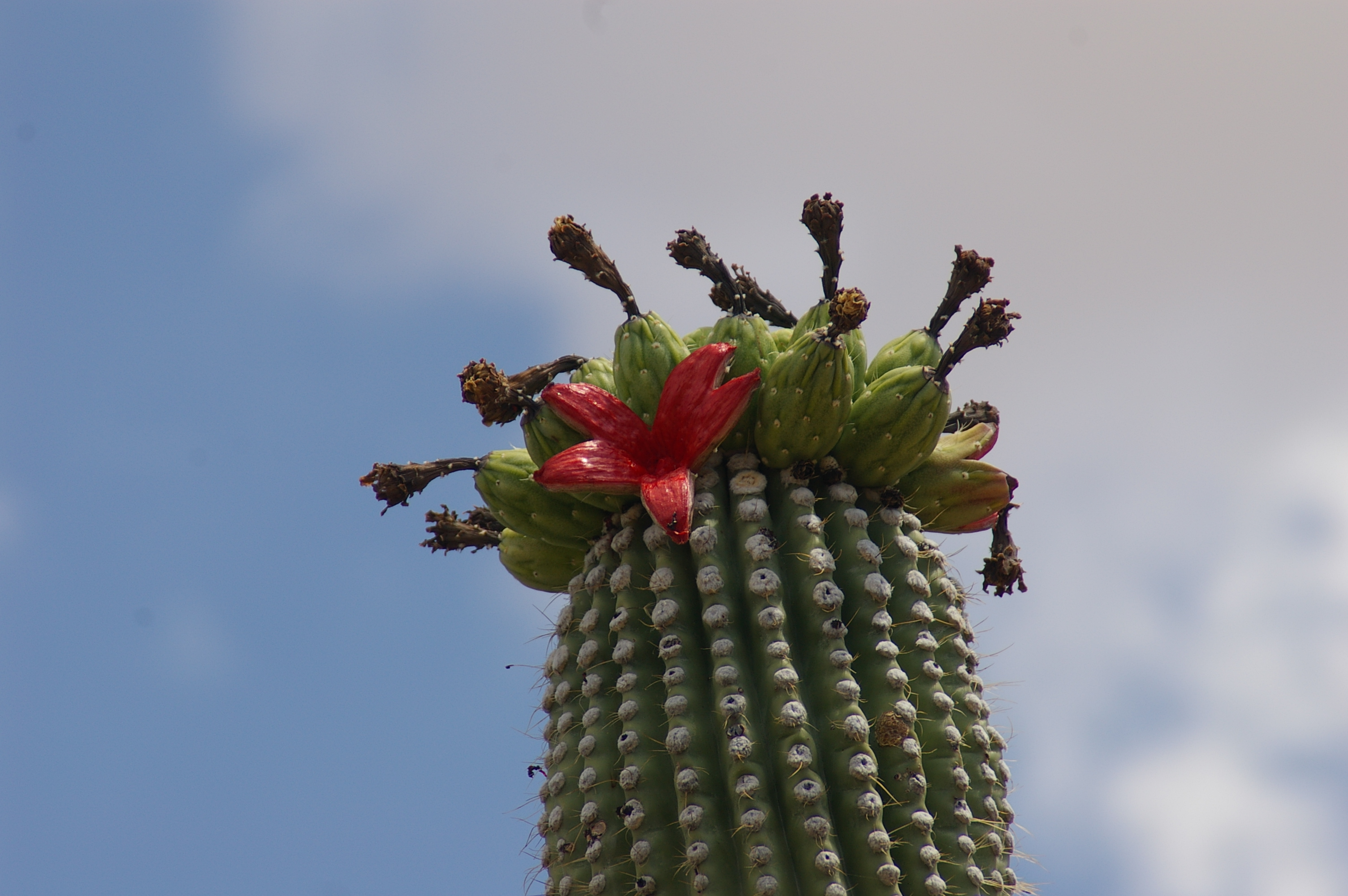 red saguaro fruit on the top of a cactus, against a blue sky