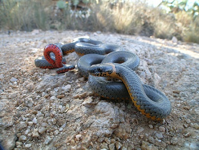 Snake with dark back and colorful underside coiled on the ground.