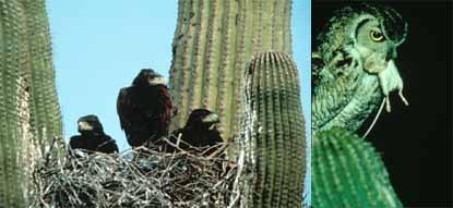 Wildlife Interactions with Saguaros - Saguaro National Park (U S