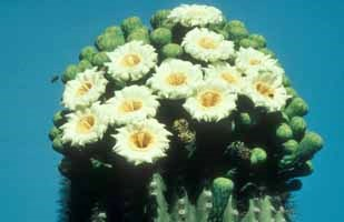 Saguaro cactus top in bloom.  White color makes it easy for night-pollinators such as bats to locate the flowers.