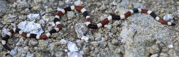 A snake with maroon, beige, and white bands on a rocky background.
