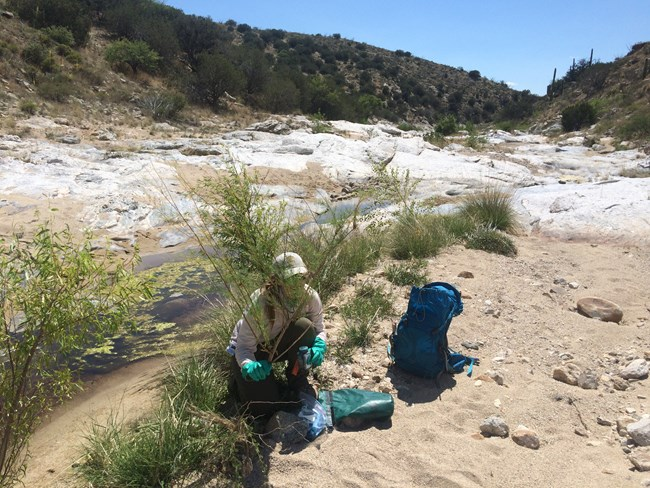 Park staff removes tamarisk from wash.