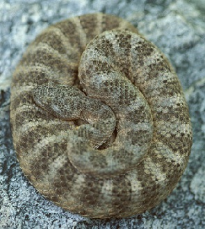 Snake coiled up on itself on a rock.