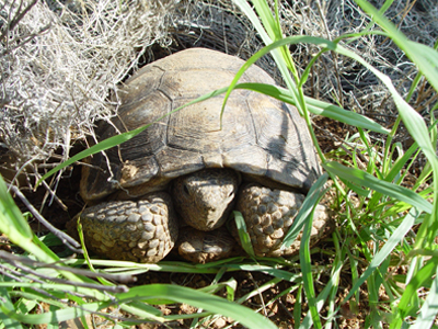 Tortoise found in buffelgrass.