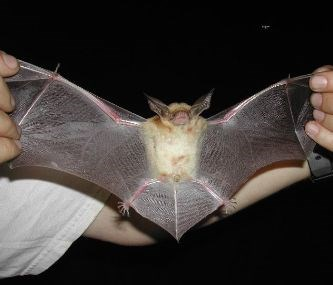 A bat with a light body and brown wings is held with wings spread toward the camera.