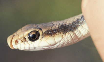 Close up of a snake head.
