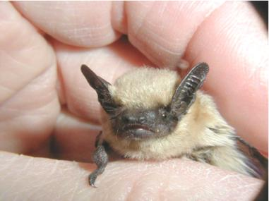 Small bat with tan body and dark face and ears is held in a hand.