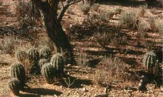 Small saguaros a foot high under a deciduous tree