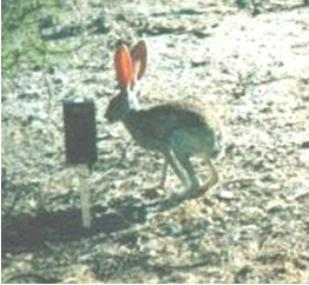 Jackrabbit stands next to a wildlife camera in a natural setting.