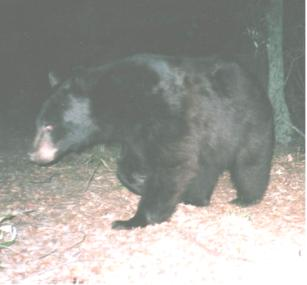 A black bear in a natural setting.