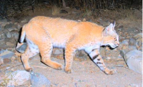 a bobcat walking in a natural setting