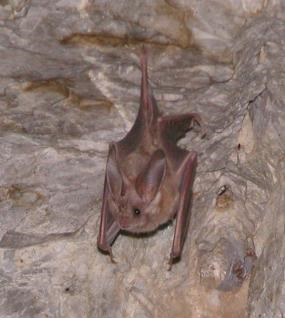 A brown bat with large ears hangs from a rock overhang.