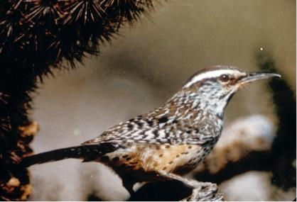 Mottled brown bird with long beak and white stripe over its eye perched in a natural setting.