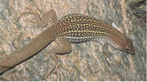 A lizard with stripes and spots on a rock surface.