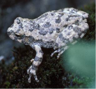 Light colored frog perched on dark green moss.
