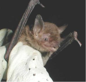A brown bat is held in a gloved hand.