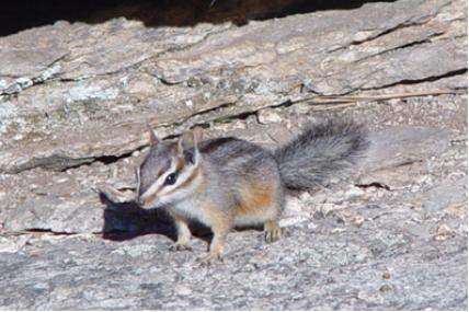 A chipmunk on a rocky background.
