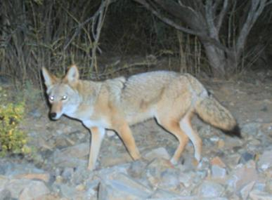 A coyote walking in a natural setting.