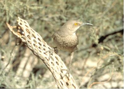 Gray bird with yellow eye and long, curved beak perches on a cactus skeleton in a natural setting.