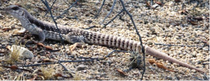 Lizard with spots and stripes in a natural setting.