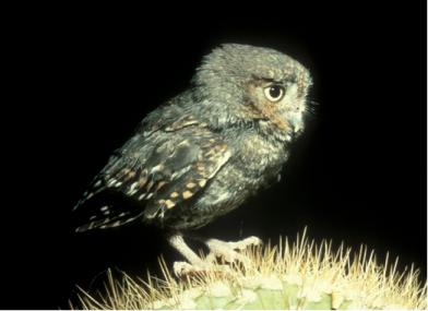 Small gray owl perches on a spiny cactus.