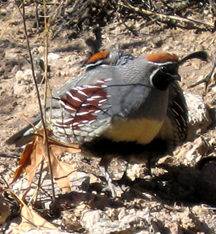 Gray bird with colorful patches and black feather vertical on forehead stands in a natural setting.
