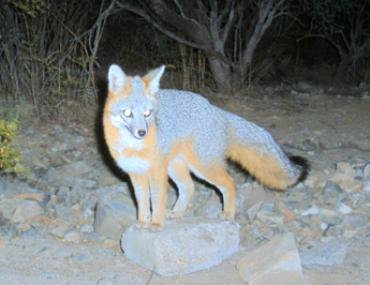 A gray fox standing on a rock in a natural setting.