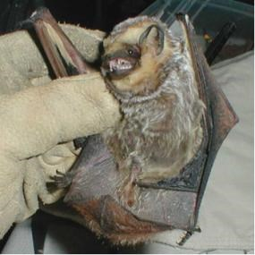 A bat with light tipped fur immobilized by a gloved hand.