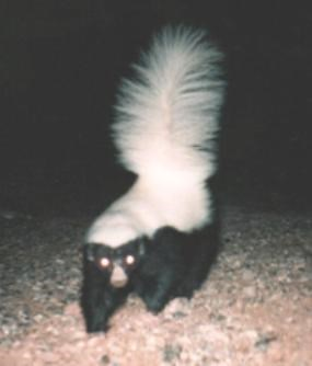 A skunk faces the camera, illuminated with artificial light.