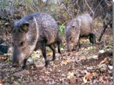 Two javelinas walk in a forest setting.