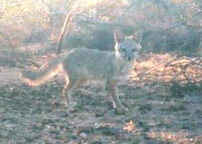 A kit fox in a natural setting.