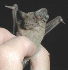 A small brown bat is held by hand with a black background.